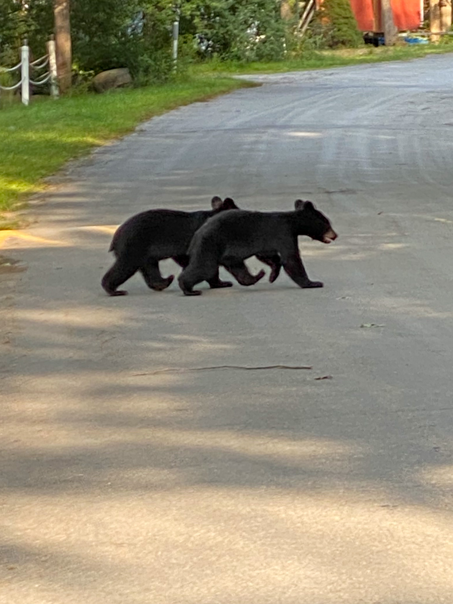 Bear Cubs on Clubhouse Drive